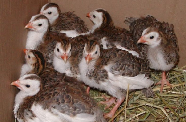 Маленькие цыплята цесарки