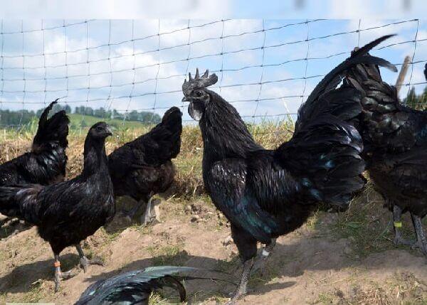 Аям Цемани – древняя порода кур