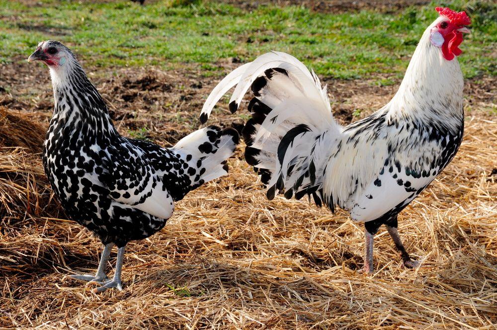 Стандарт породы Гамбургских кур