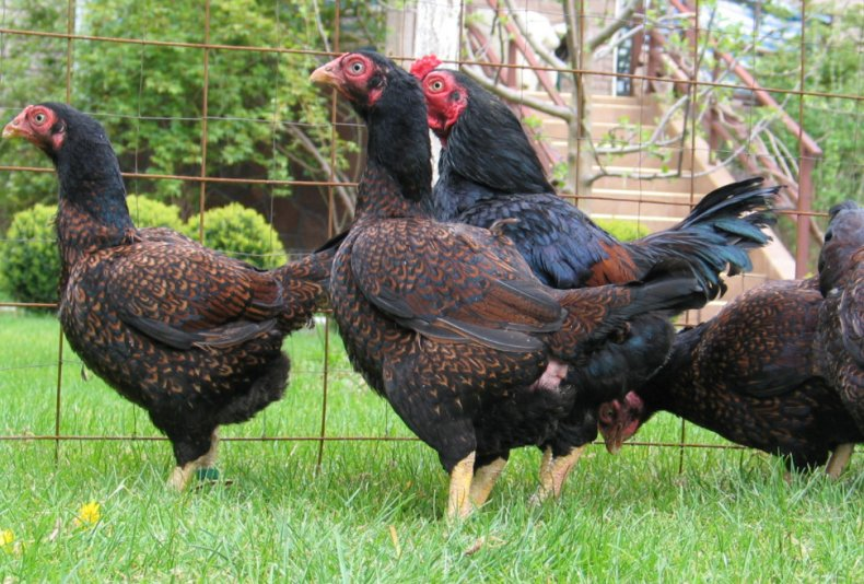 Куры Корниш – отличная мясная порода
