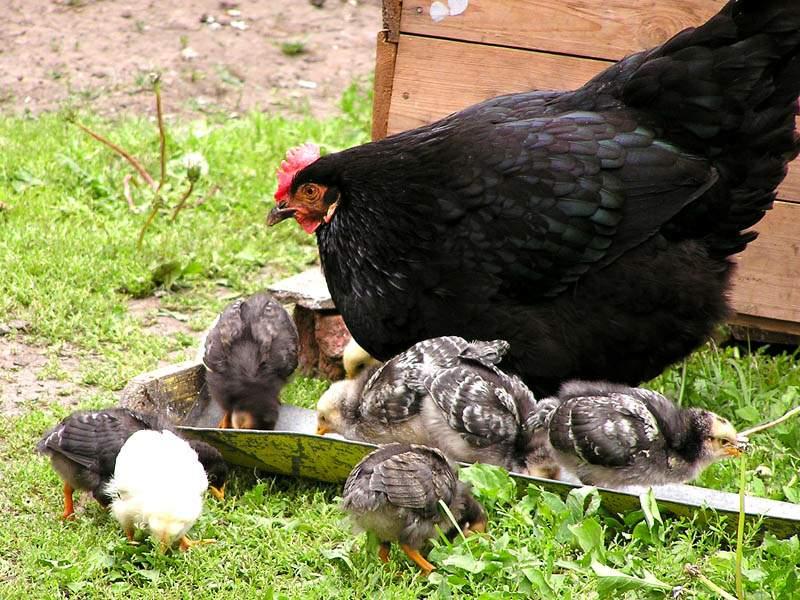 Куры-несушки обладают материнским инстинктом