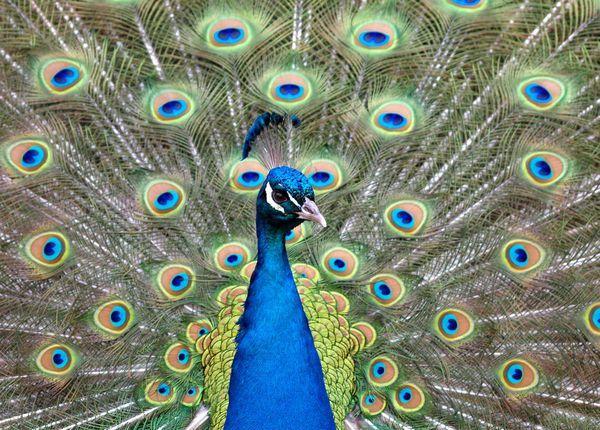 Павлины, в основном, известны своим шикарным хвостом
