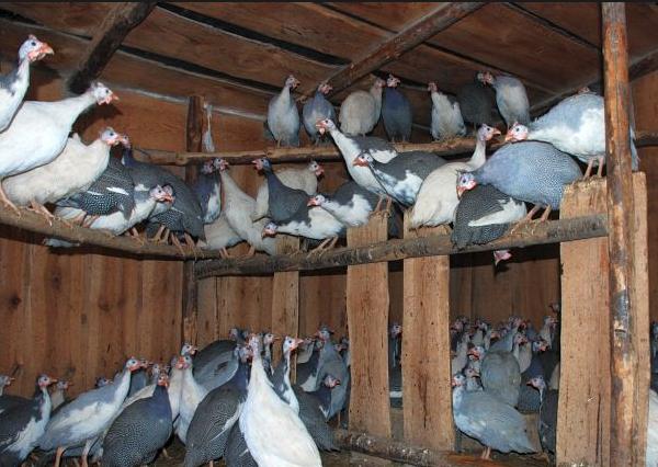 Помещение для содержания птиц нужно оборудовать насестами