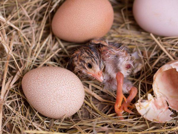 Из-за своей пугливости птицы часто отказываются от молодого потомства