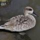 Необычные дикие нырковые утки - красивые обитатели болот и рек